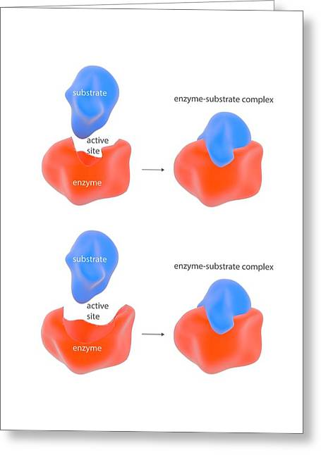 Enzyme Reaction Models Greeting Card by Science Photo Library