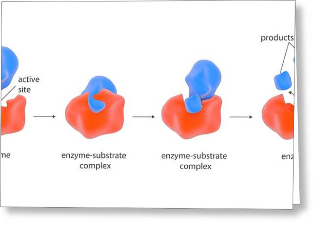 Enzyme Reaction Stages Greeting Card by Science Photo Library