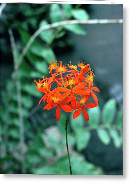 Epidendrum Ibaguense. Greeting Card by Science Photo Library