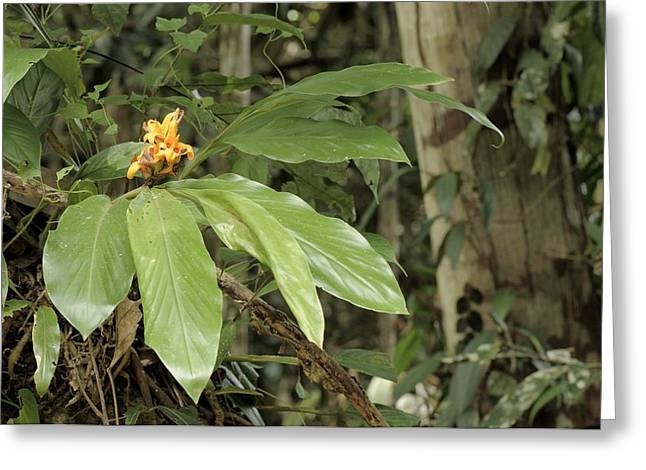 Epiphytic Ginger Hedychium Sp Greeting Card