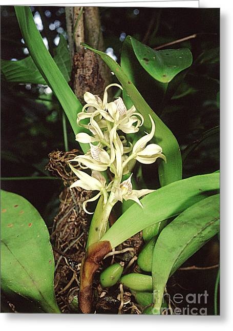Epiphytic Orchid Greeting Card by Gregory G. Dimijian