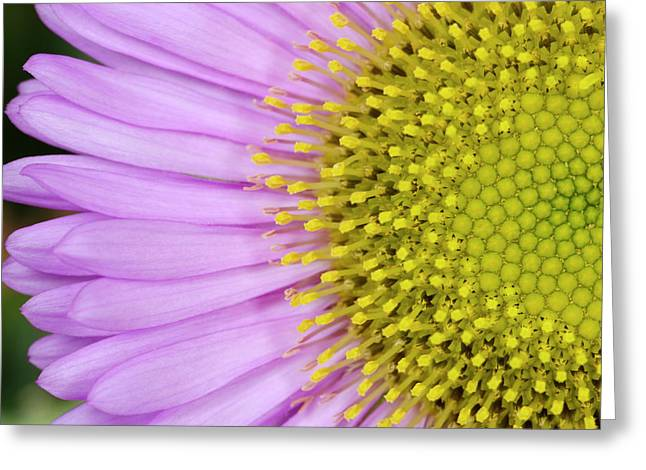 Erigeron 'sea Breeze' Abstract Greeting Card by Nigel Downer