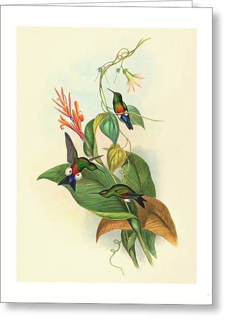Eriocnemis Cupreiventris Coppery Vented Puff Leg Greeting Card by John Gould (1804-1881) And Henry Constantine Richter (1821?1902), English