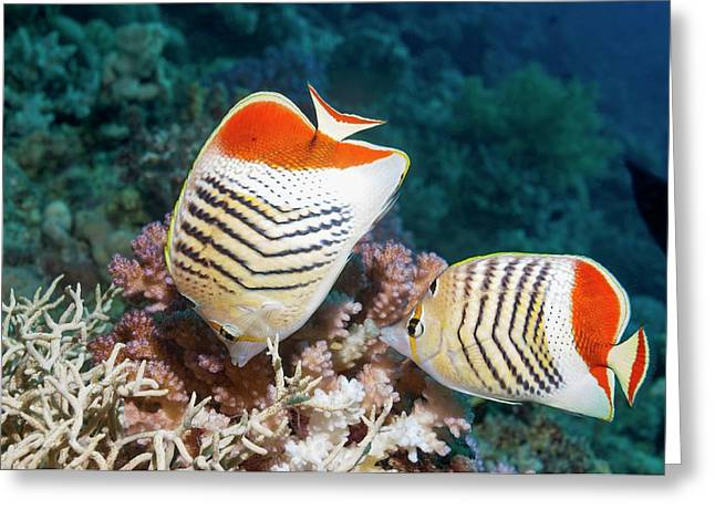 Eritrean Butterflyfish On A Reef Greeting Card