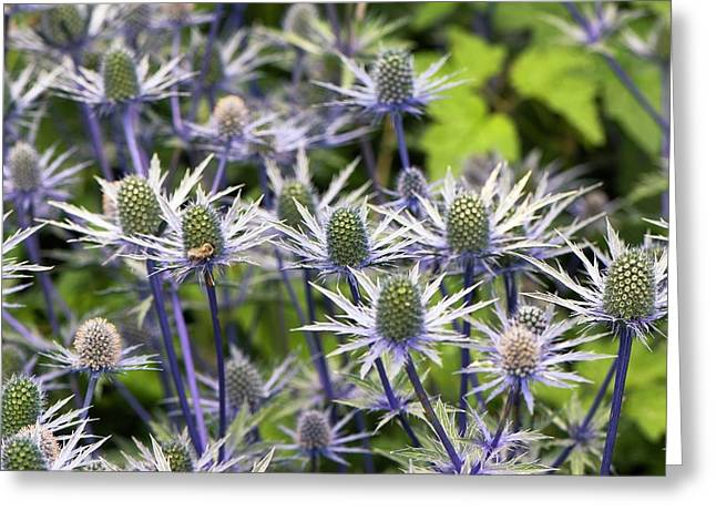 Eryngium � Zabelii 'jos Eijking' Greeting Card by Adrian Thomas