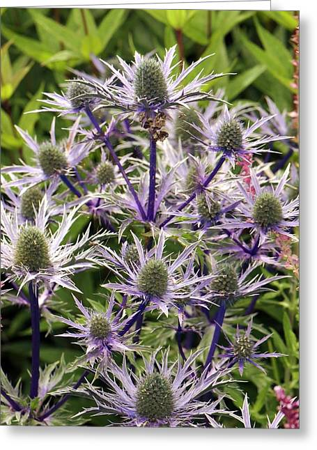 Eryngium 'dove Cottage Hybrid' Greeting Card