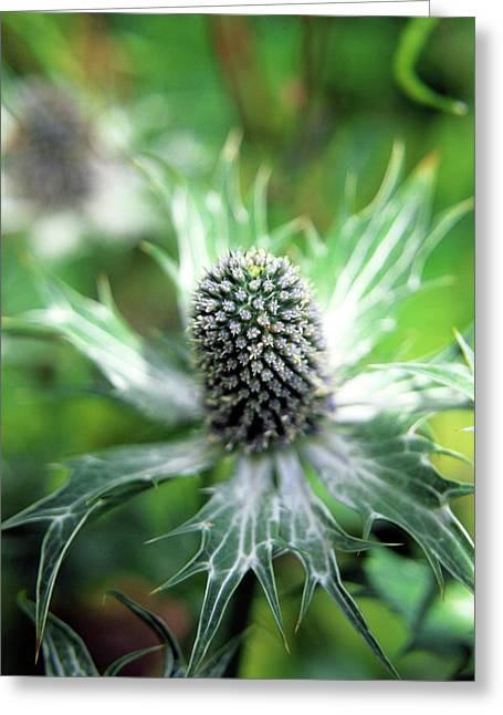 Eryngium Giganteum Greeting Card