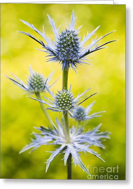 Eryngium X Oliverianum Greeting Card by Tim Gainey