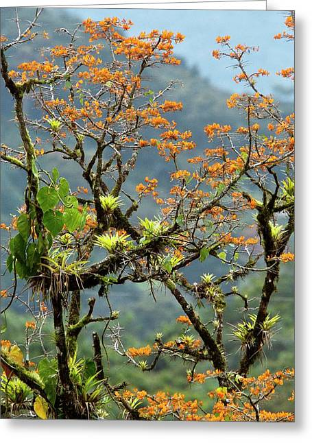 Erythrina Poeppigiana Tree And Epiphytes Greeting Card by Bob Gibbons