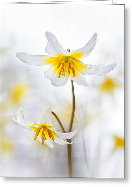 Erythronium Elegance Greeting Card