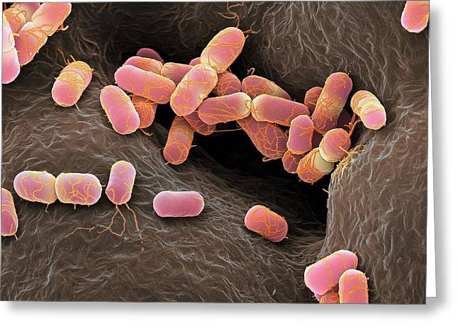 Escherichia Coli Bacteria Greeting Card by Martin Oeggerli/science Photo Library