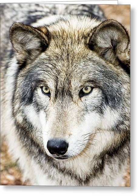 Essence Of Wolf Greeting Card