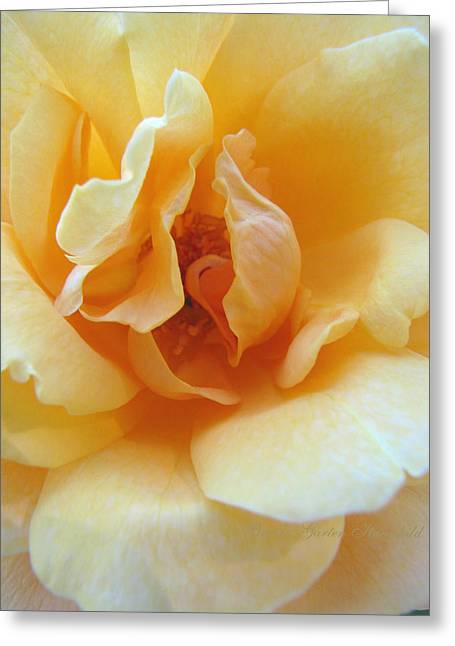 Lightness Of Being - Yellow Rose Macro -floral Art From The Garden Greeting Card