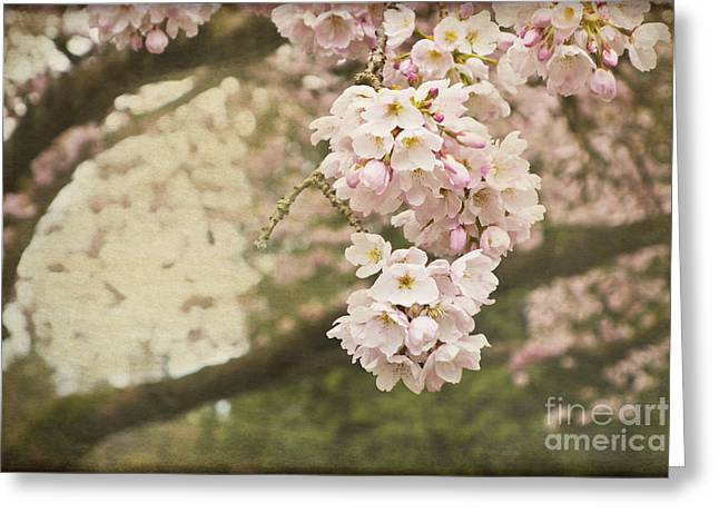 Ethereal Beauty Of Cherry Blossoms Greeting Card