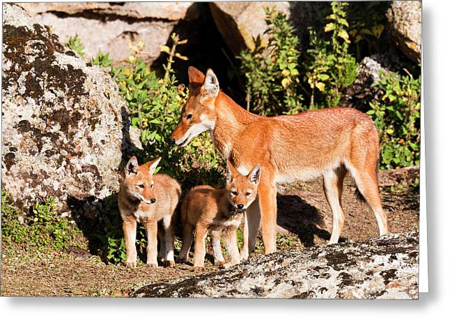 Ethiopian Wolf (canis Simensis Greeting Card