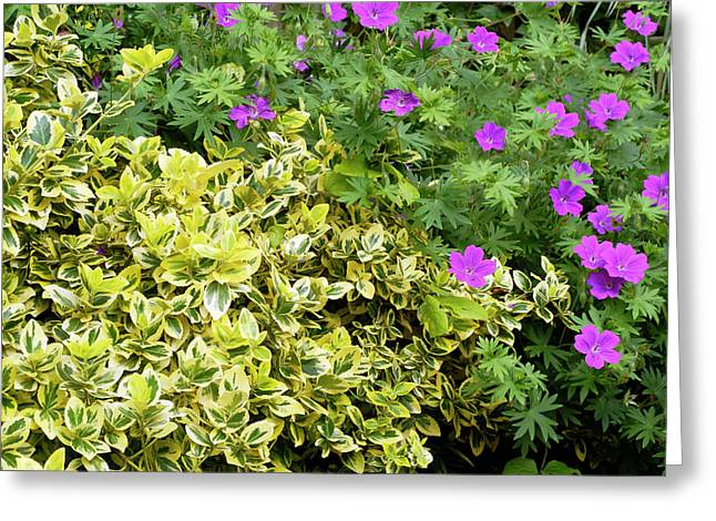 Euonymus Fortunei 'emerald And Gold' Greeting Card