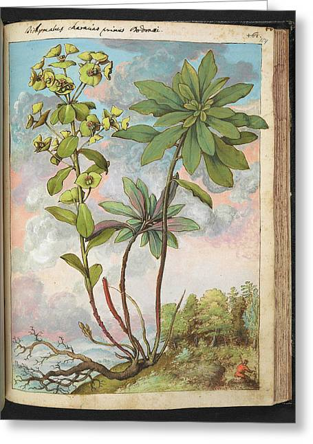 Euphorbia Characias Greeting Card