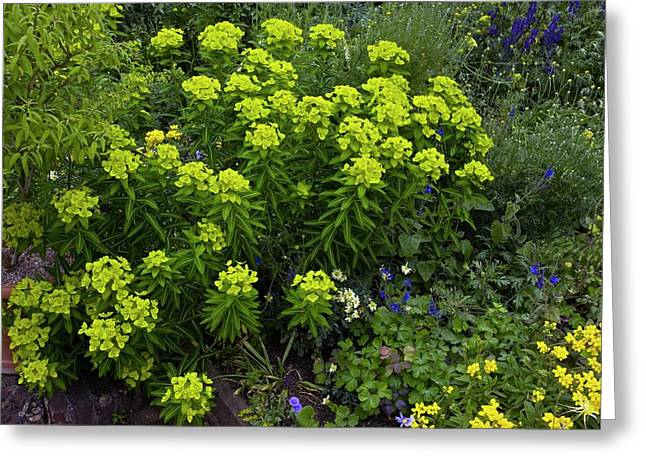 Euphorbia Flowers Greeting Card by Bob Gibbons/science Photo Library