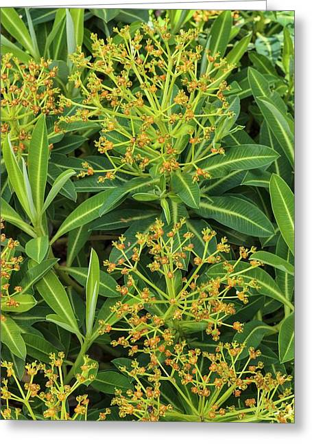 Euphorbia Stygiana Greeting Card