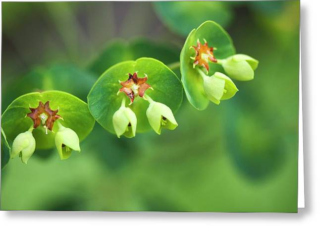 Euphorbia X Martinii Greeting Card