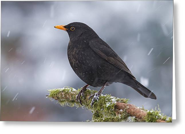 Eurasian Blackbird And Snowfall Germany Greeting Card by Helge Schulz