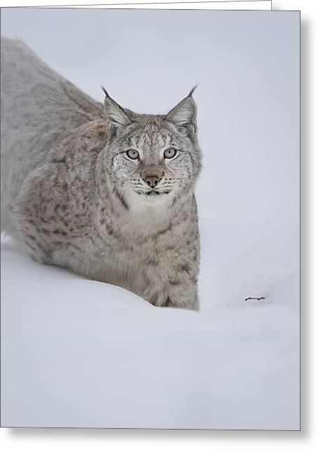 Eurasian Lynx Greeting Card by Andy Astbury