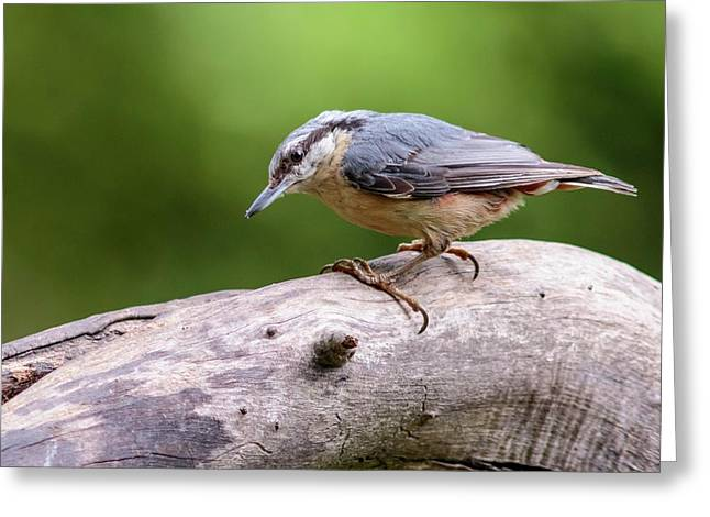 Eurasian Nuthatch Greeting Card by Heath Mcdonald