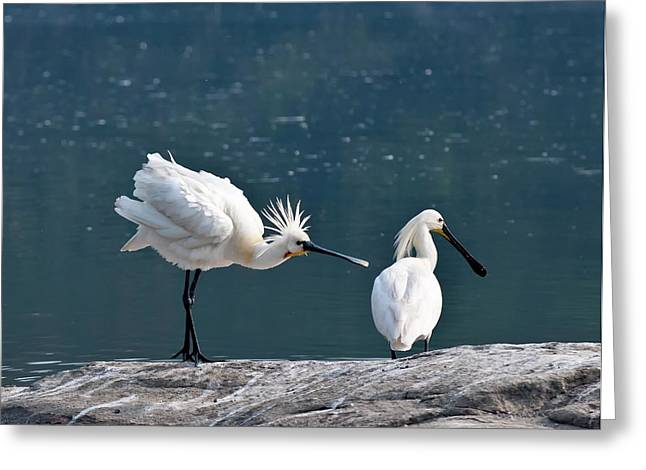 Eurasian Spoonbill Courtship Display Greeting Card