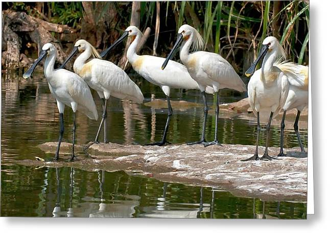 Eurasian Spoonbills At Water's Edge Greeting Card