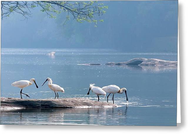 Eurasian Spoonbills Feeding Greeting Card