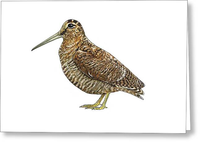 Eurasian Woodcock, Artwork Greeting Card by Science Photo Library