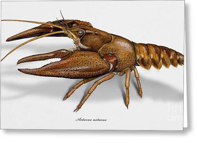 European Crayfish Astacus Astacus - Flusskrebs - Ecrevisse A Pattes Rouges - Jokirapu Greeting Card by Urft Valley Art
