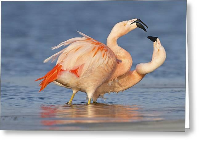 European Flamingo Pair Courting Greeting Card by Ronald Kamphius