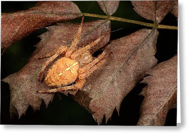 European Garden Spider Greeting Card