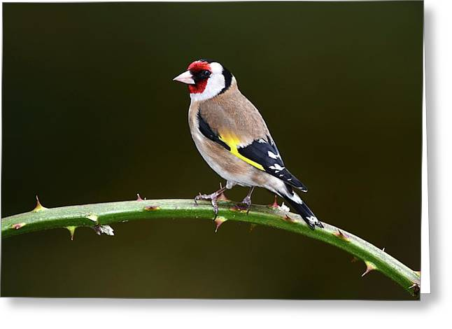 European Goldfinch Greeting Card by Colin Varndell