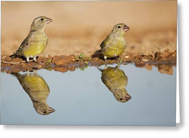 European Greenfinch (carduelis Chloris) Greeting Card by Photostock-israel