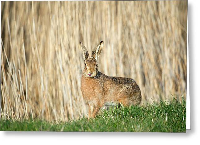 European Hare Greeting Card by Dr P. Marazzi