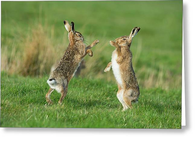 European Hares In March Greeting Card by Dr P. Marazzi
