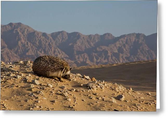 European Hedgehog Greeting Card by Photostock-israel