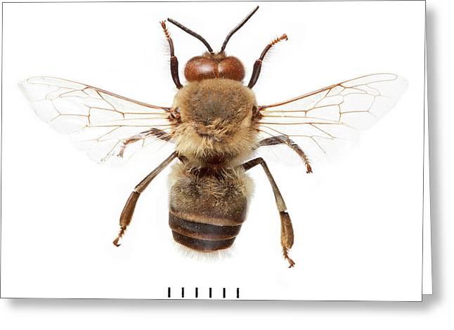 European Honeybee Greeting Card