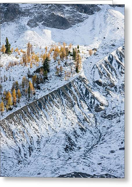 European Larch (larix Decidua Greeting Card