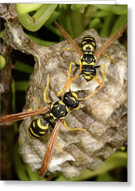 European Paper Wasps And Nest Greeting Card by Nigel Downer