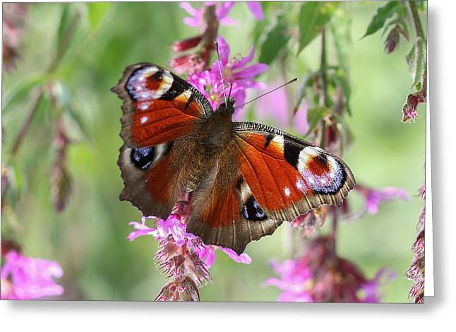 Greeting Card featuring the photograph European Peacock Butterfly - Nymphalis Io by Jivko Nakev