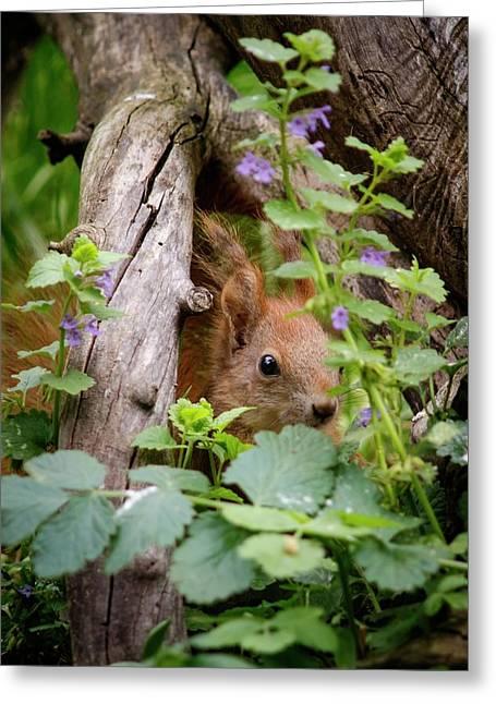 European Red Squirrel Greeting Card