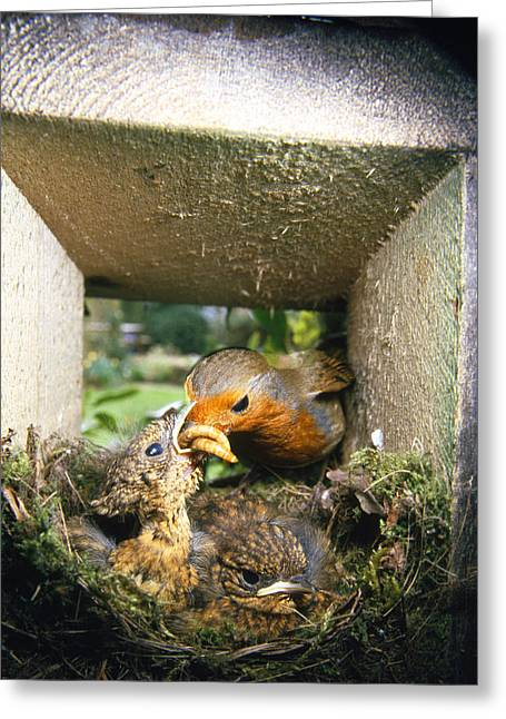 European Robin And Chicks Greeting Card