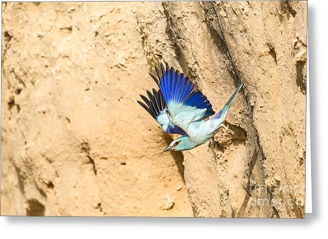 European Roller Coracias Garrulus 1 Greeting Card by Eyal Bartov