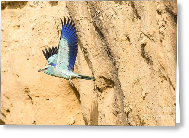 European Roller Coracias Garrulus 3 Greeting Card by Eyal Bartov