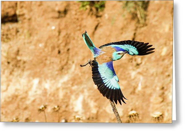 European Roller (coracias Garrulus) Greeting Card by Photostock-israel