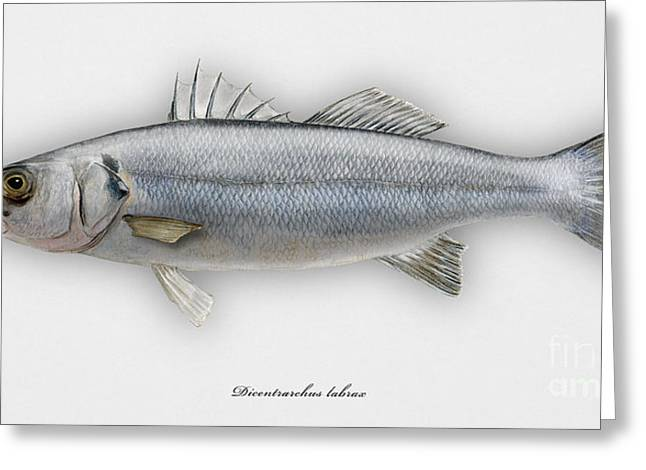 European Seabass Dicentrarchus Labrax - Bar Commun - Loup De Mer - Lubina - Havabor - Seafood Art Greeting Card