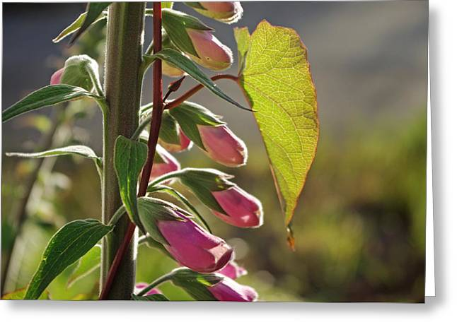 Evening Foxglove Greeting Card by Adria Trail
